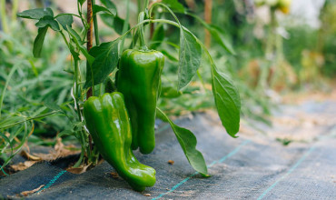6 μυστικά για καλλιέργεια πιπεριάς