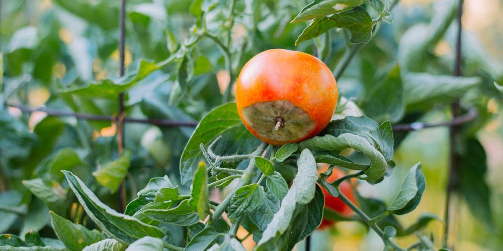 Ξηρή κορυφή: Αντιμετώπιση του μαυρίσματος σε ντομάτες και πιπεριές