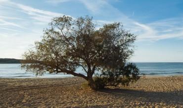 Αλμυρίκι, δέντρο για παραθαλάσσια φύτευση