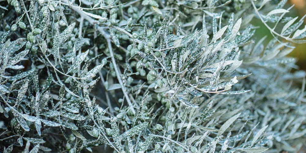 Προστατέψτε τα φυτά με καολίνη