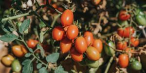 5 μυστικά για νόστιμα ντοματίνια