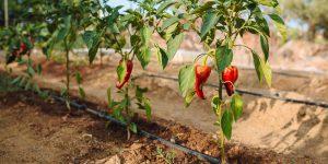 5 μυστικά για το πότισμα του λαχανόκηπου
