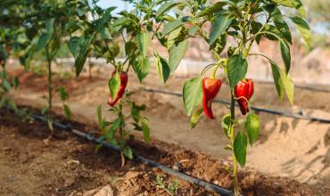 8 μυστικά για το πότισμα των λαχανικών σε κήπο και σε γλάστρα