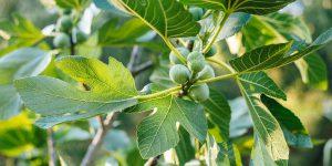 7 μυστικά για την καλλιέργεια της συκιάς