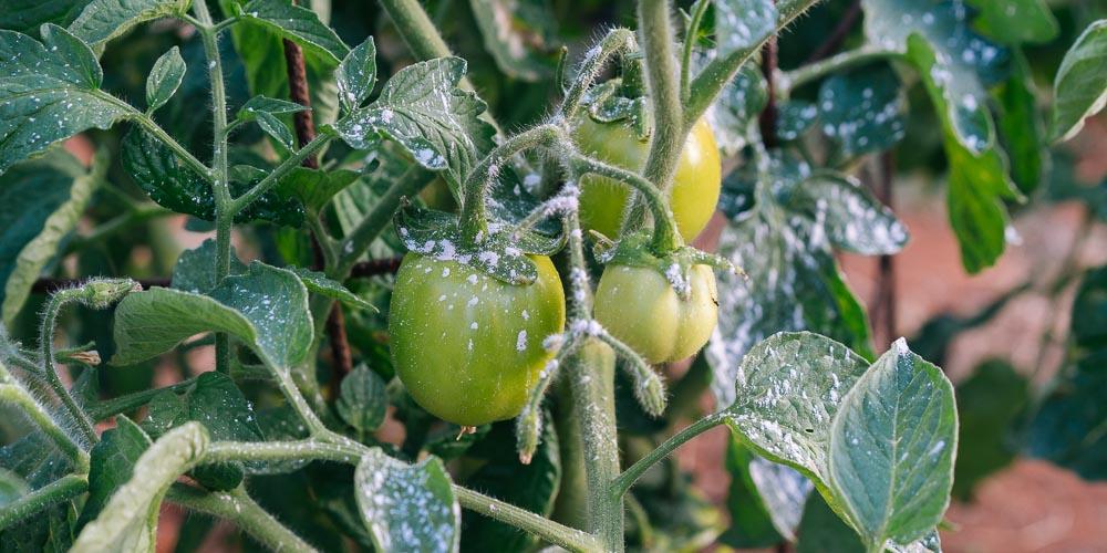 Πώς χρησιμοποιούμε τον βάκιλλο Θουριγγίας για την προστασία των φυτών