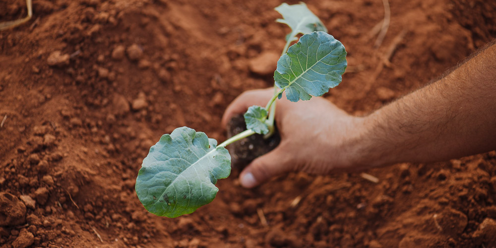 Συμβουλές καλλιέργειας για το μπρόκολο
