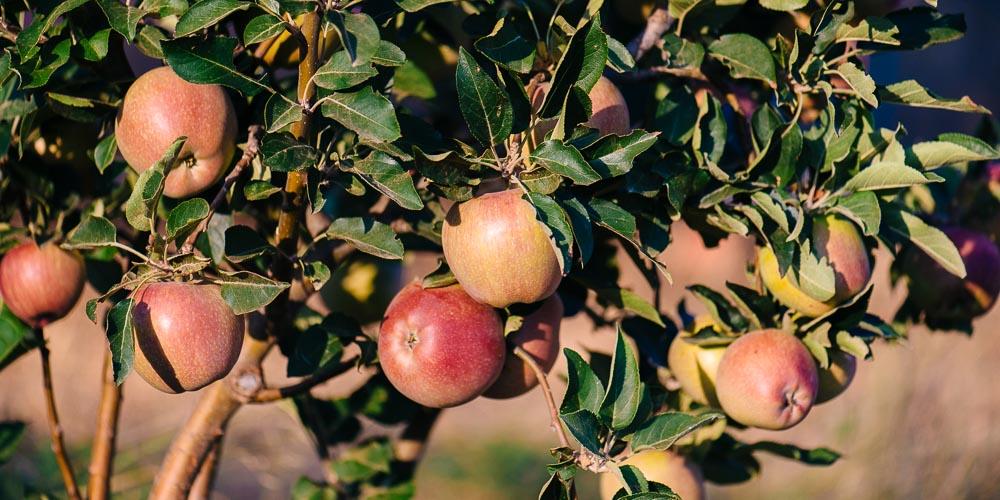 Αντιμετωπίστε την καρπόκαψα της μηλιάς