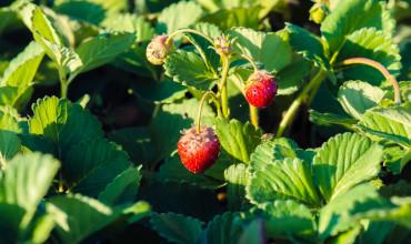 Φύτευση και καλλιέργεια φράουλας