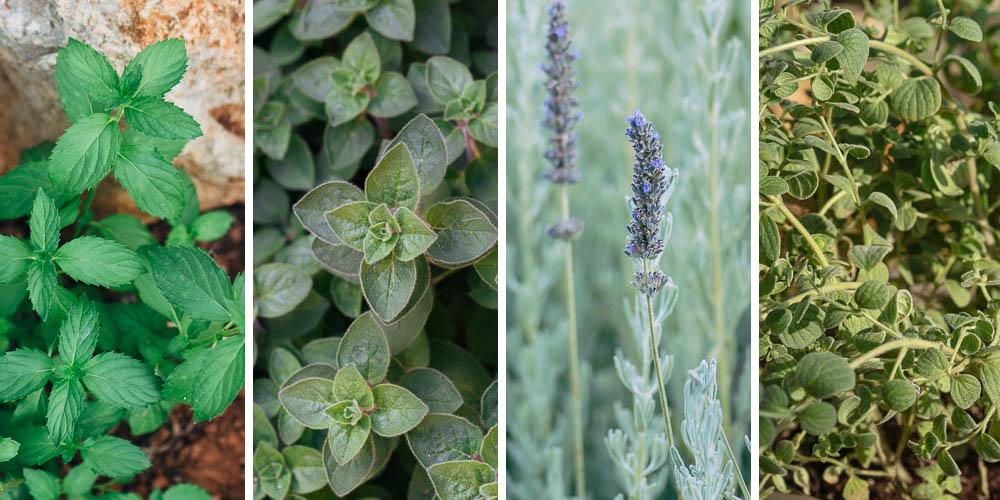 Αρωματικά φυτά που μεγαλώνουν σε νερό