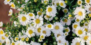 Άστερ ή αστράκι, φθινοπωρινό φυτό