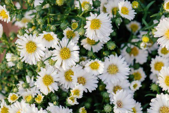 Άστερ ή αστράκι, ένα υπέροχο φθινοπωρινό φυτό