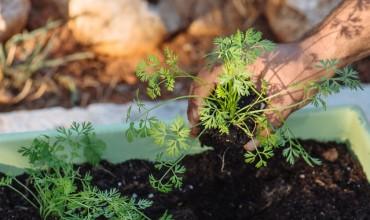 Καλλιέργεια καρότου σε γλάστρα