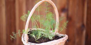 Συμβουλές για καλλιέργεια μάραθου (φινόκιο) σε γλάστρα