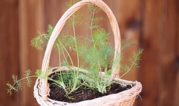 Καλλιέργεια μάραθου (φινόκιο) σε γλάστρα