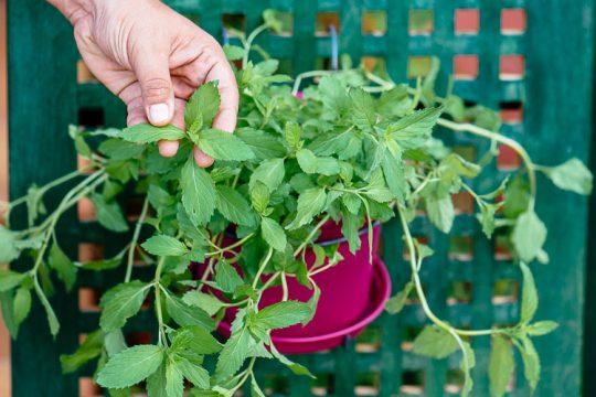 Πώς γίνεται η καλλιέργεια μέντας σε γλάστρα