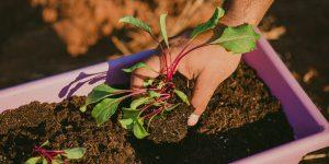 Καλλιεργούμε παντζάρι σε γλάστρα