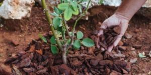 Πευκόφλουδα, χρήσεις στην κηπουρική