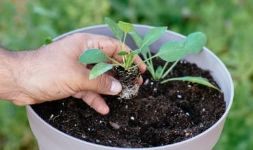 Πώς καλλιεργούμε σπανάκι σε γλάστρα
