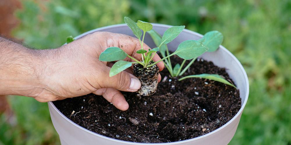 Καλλιεργούμε σπανάκι σε γλάστρα