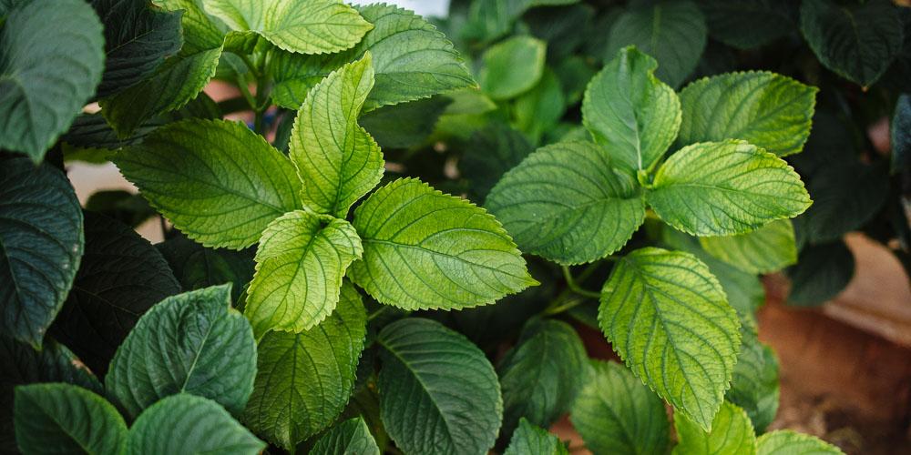 Πέντε φυτά που χρειάζονται σίδηρο