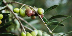 Αγουρέλαιο, πρώιμη συγκομιδή ελιάς