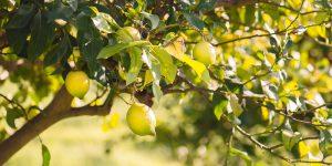 Συμβουλές για την καλλιέργεια της λεμονιάς