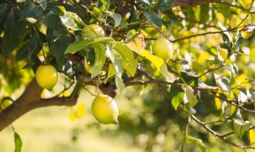 Καλλιέργεια και φροντίδα λεμονιάς