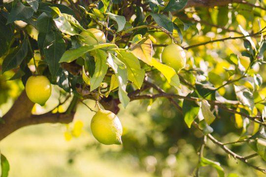 8 μυστικά για καλλιέργεια και φροντίδα λεμονιάς