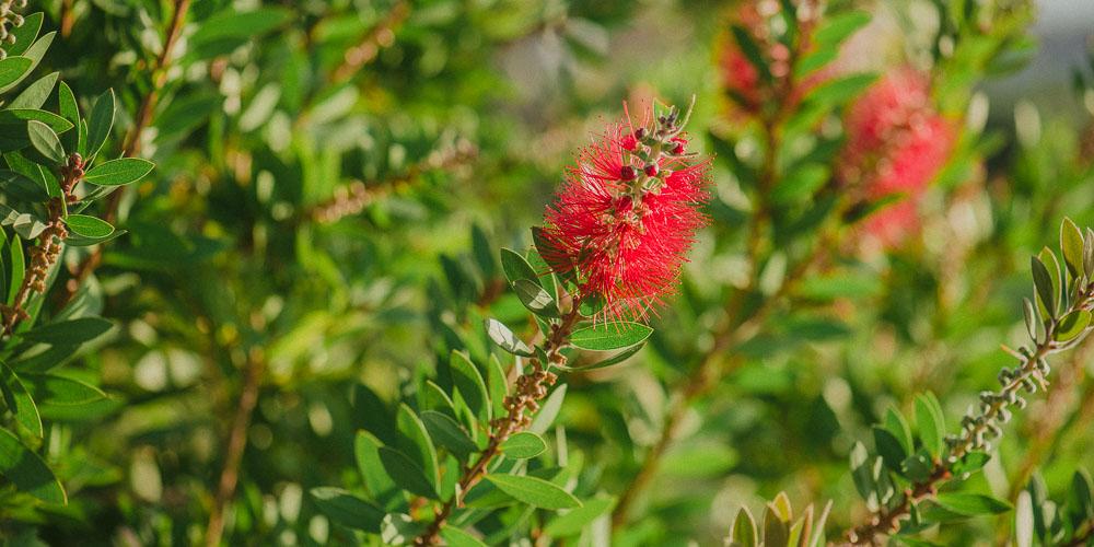 Καλλιστήμονας, καλλωπιστικό φυτό με βούρτσες