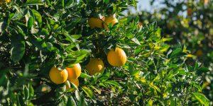 6 μυστικά για καλλιέργεια πορτοκαλιάς