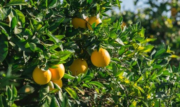 8 μυστικά για την καλλιέργεια της πορτοκαλιάς