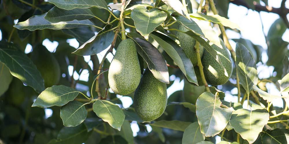 10 μυστικά για την καλλιέργεια του αβοκάντο