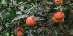6 μυστικά για καλλιέργεια μανταρινιάς