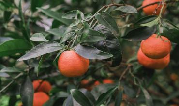 7 μυστικά για την καλλιέργεια της μανταρινιάς