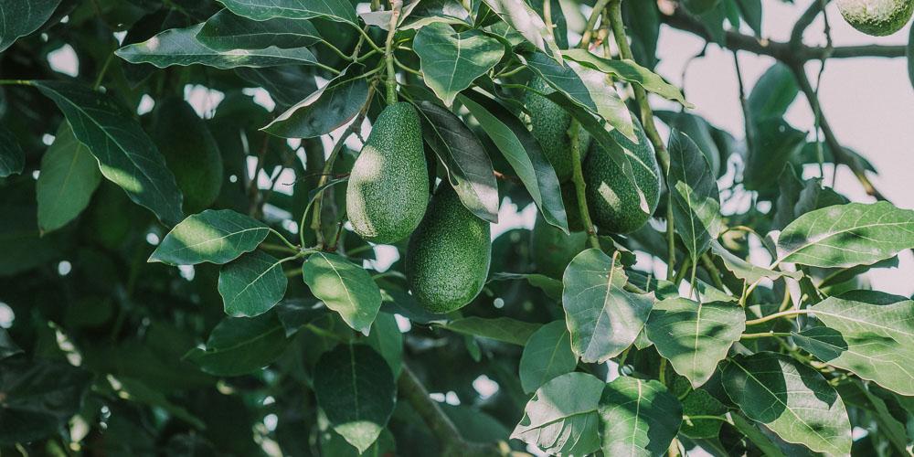 6 μυστικά για καλλιέργεια αβοκάντο