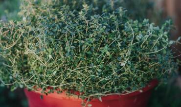 Καλλιέργεια λεμονοθύμαρου σε γλάστρα
