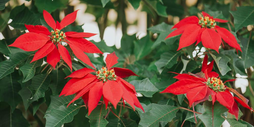 Αλεξανδρινό, το λουλούδι των Χριστουγέννων