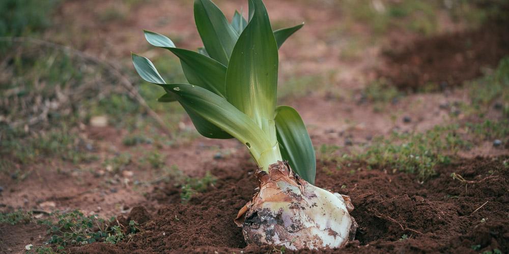Ασκελετούρα, φυτό για καλή χρονιά