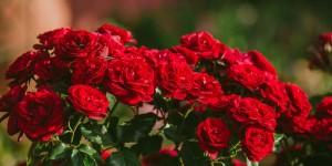 10 μυστικά για τη φροντίδα της τριανταφυλλιάς