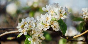 6 μυστικά για την καλλιέργεια της βερικοκιάς