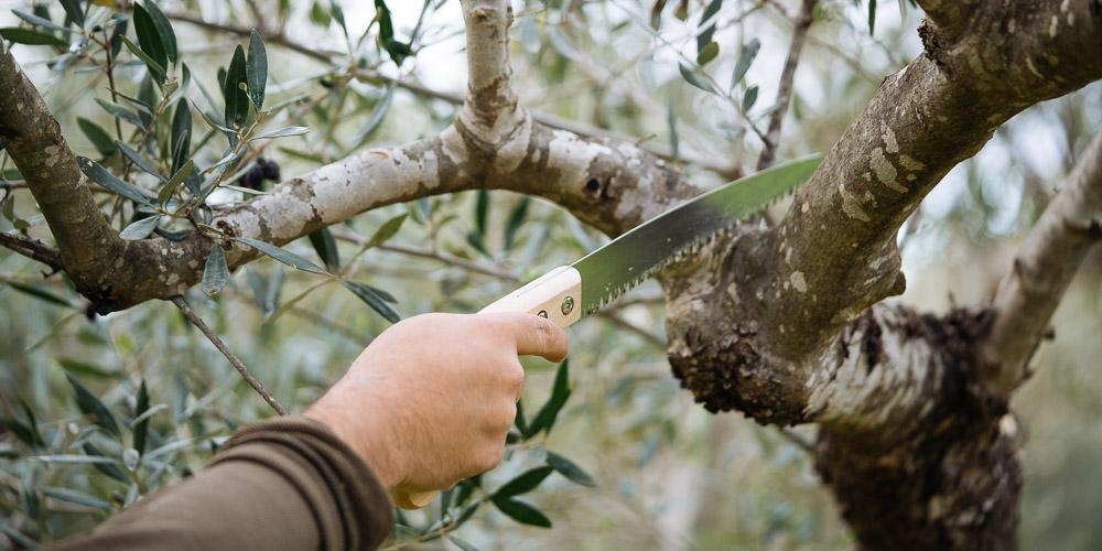 Κλάδεμα καρποφορίας ελιάς