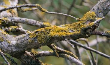 Λειχήνες στα δέντρα