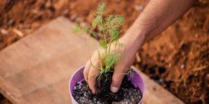 6 μυστικά για καλλιέργεια άνηθου σε γλάστρα