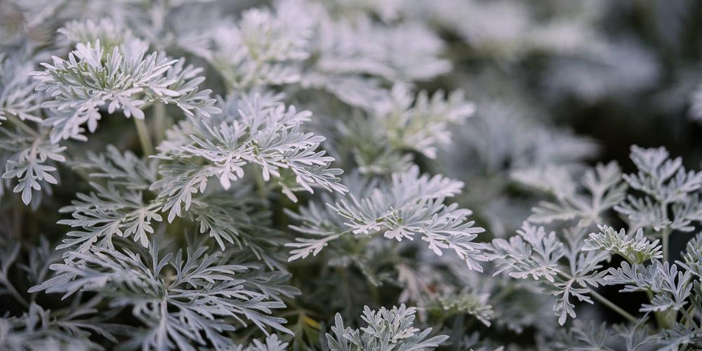 Αρτεμισία ή αψιθιά, ένα ιδιαίτερο αρωματικό φυτό