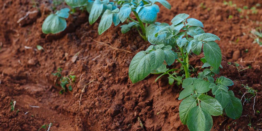 Η καλλιέργεια της πατάτας