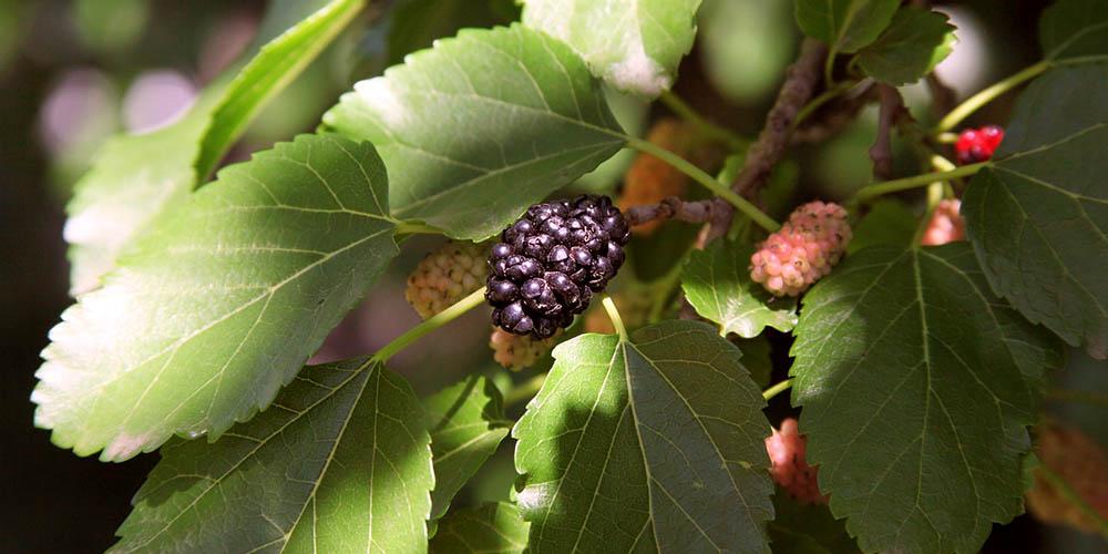 5 μυστικά για καλλιέργεια μουριάς