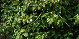 Οι καρποί του ρυγχόσπερμου που περιέχουν τους σπόρους