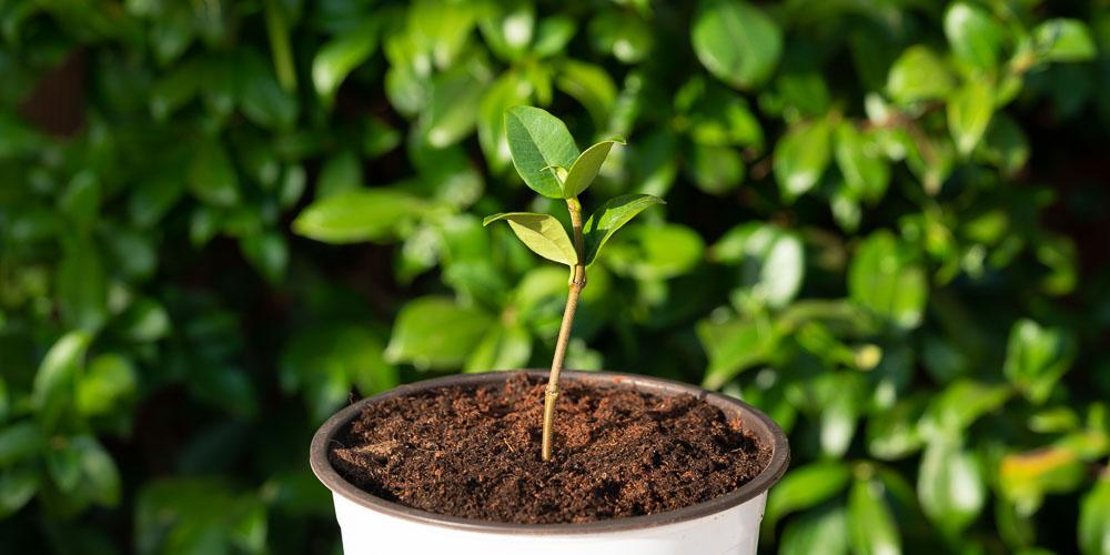 Πολλαπλασιασμός ρυγχόσπερμου, πώς δημιουργούμε νέα φυτά