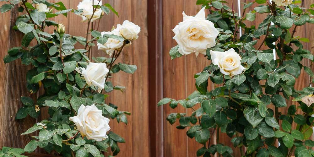 Είδη και ποικιλίες τριανταφυλλιάς