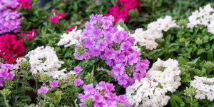 Βερβένα, φυτό εδαφοκάλυψης με πλούσια ανθοφορία
